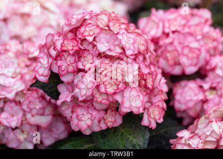 Nahaufnahme der Hortensia macrophylla Miss Saori, die in einem englischen Garten blüht - Stockfoto