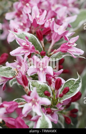 Weigela Florida 'Variegata' - Stockfoto