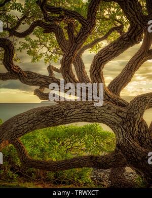 Wildley verzweigten Baum. Maui, Hawaii. - Stockfoto
