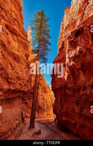 Bryce Canyon National Park, Navajo Loop Trail, Utah, USA, Nordamerika - Stockfoto
