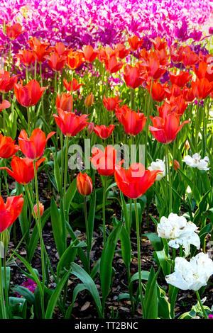 Nahaufnahme der sortierten bunte Tulpen in ein Blumenbeet. - Stockfoto