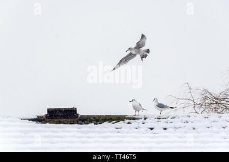 Möwen auf schneebedeckten Dach - Stockfoto