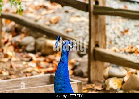 Ein Stolzer Pfau Portrait auf einem Bauernhof. Die strahlend blauen Federn des Vogels wirklich machen es sich gegen die erdigen Farben des Herbstes im Hintergrund stehen. - Stockfoto