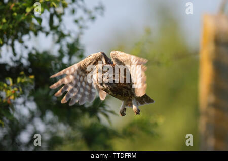 Steinkauz (Athene noctua) im Flug. Bei Hortobagy NP, Ungarn fotografiert - Stockfoto