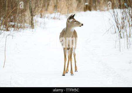 Ein White-Tailed Deer steht in der Mitte eines schneebedeckten Pfad - Stockfoto