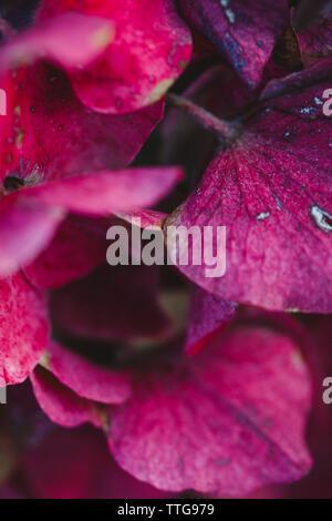 In der Nähe von dunklen pink hydrangea Blütenblätter - Stockfoto