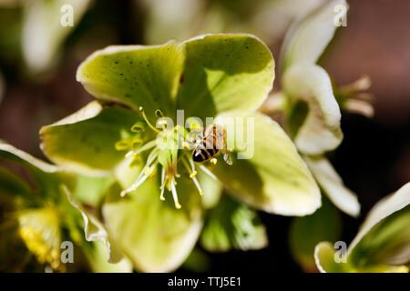 Nahaufnahme der Honigbiene bestäubt auf die grüne Blume - Stockfoto