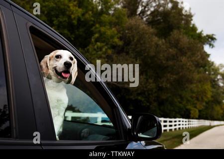 Portrait von Hund heraus haften Zunge, während durch's Auto Fenster suchen - Stockfoto