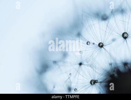 Extreme close-up von nassen Löwenzahn Samen gegen Himmel während der Regenzeit - Stockfoto