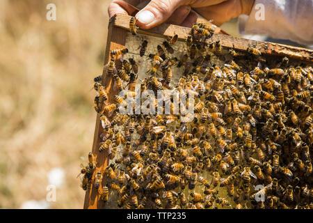 7/8-Seite der weiblichen Imker holding Honeycomb Rahmen - Stockfoto
