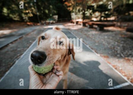 7/8 Hand der Frau mit Kugel durch Golden Retriever im Mund durchgeführt im Park - Stockfoto