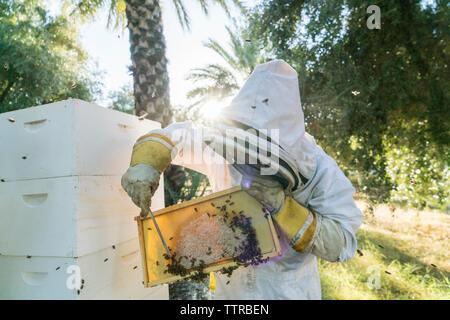 Imker entfernen Bienen auf Wabe im Rahmen - Stockfoto