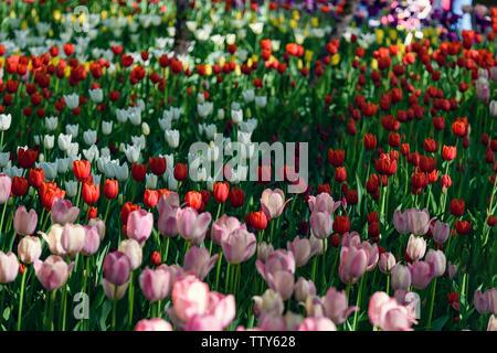 Mehrfarbiges Feld mit roten, gelben, dunkel violetten und weißen Tulpen von Tulip Festival. Bild nützlich für Web Design und als Computer Wallpaper. - Stockfoto