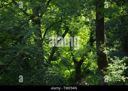 Hintergrundbeleuchtung Buche Blätter in Hembury Holz auf einem späten Sommer am Nachmittag. Buckfastleigh, Dartmoor, Devon, Großbritannien. - Stockfoto
