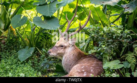 Ein erwachsenes Männchen cervus Nippon ruhenden liegen unter den Bäumen und Wald pflanzen auf einen Tag im heißen Sommer. Sika Hirsche in den Berg. - Stockfoto