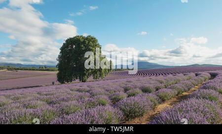 Am Nachmittag breiten Schuß eines Lavender Farm in Tasmanien, Australien - Stockfoto