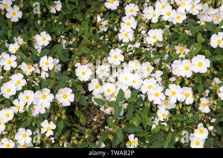 Cistus hybridus, auch bekannt als Little Sunshine vermissen, hat weiße Blüten mit gelben Zentren. - Stockfoto