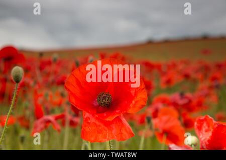 Detaillierte Nahaufnahme eines natürlichen, wild, rote Mohnblüte (Papaver rhoeas) vollständig geöffnet im Vordergrund; UK Mohnfeld Landschaft hinter, ohne Menschen. - Stockfoto