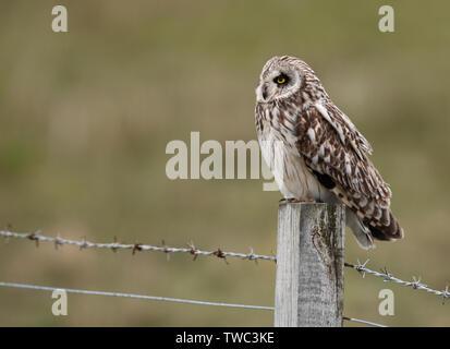 Eine wilde Short Eared Owl (Asio Flammeus) auf hölzernen Zaun Pfosten thront, North Uist, Äußere Hebriden, Schottland - Stockfoto