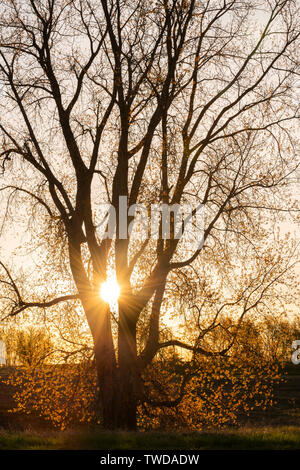 Östlichen Pappel Baum bei Sonnenaufgang (Populus canescens), Frühling, Mai, E USA, von Dominique Braud/Dembinsky Foto Assoc - Stockfoto