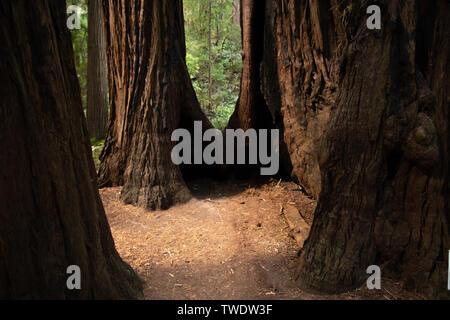 Nahaufnahme von Redwood Baumstümpfen in Muir Woods National Park. Muir Woods National Monument ist ein Teil von Kalifornien Golden Gate National Recreation - Stockfoto