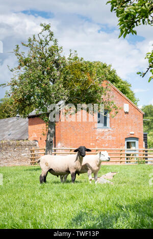 Schafe in einem Feld mit Bäumen ooking an der Kamera in fornt aus rotem Backstein Scheune auf einem Bauernhof in Herefordshire UK - Stockfoto