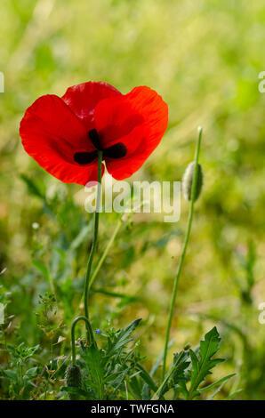 Red Poppy Flower gegen die Sonne. schönen roten Mohnblumen mit selektiven Fokus. weiches Licht. Flache Tiefenschärfe - Stockfoto