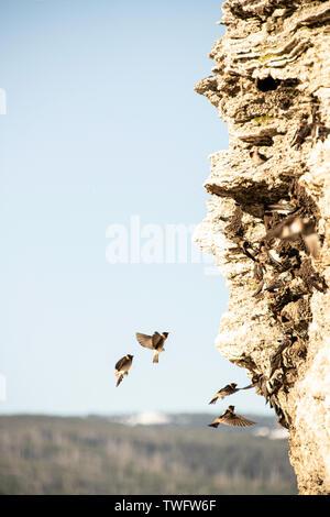 Mauersegler in ihre Nester im Soda Butte, Lamar Valley, Yellowstone, Wyoming, USA fliegen, - Stockfoto