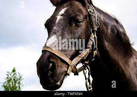 Der Leiter der ein schwarzes Pferd mit einem weißen Fleck auf der Stirn in einem Kabelbaum gegen den Himmel. Close-up - Stockfoto
