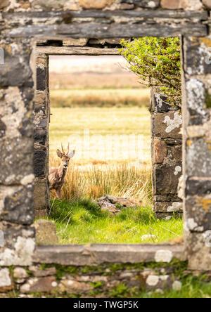 Rehe eingerahmt, wie es vorsichtig durch die Tür einer verlassenen Hütte sieht, Loch Gruinart, Islay, Schottland