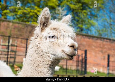 Porträt eines weißen Lama Heaton Park in Manchester. - Stockfoto