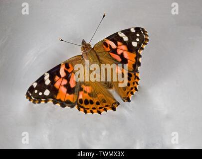 Porträt einer Distelfalter Schmetterling, Vanessa cardui, in der Cascade Mountains der zentralen Oregon fotografiert, dorsale Ansicht