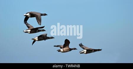 Ringelgänse Flug über Blakeney Point Nature Reserve, Norfolk, Großbritannien - Stockfoto