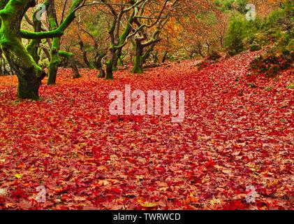 Sycamore (Platane) Wald im Herbst, Land mit Blättern, Planitreo, Kalavryta, Griechenland abgedeckt. - Stockfoto