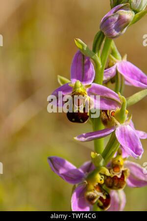 Nahaufnahme eines Bienen-ragwurz (Ophrys apifera) wächst an der Cardiff Bay Nature Reserve, Wales, Großbritannien - Stockfoto