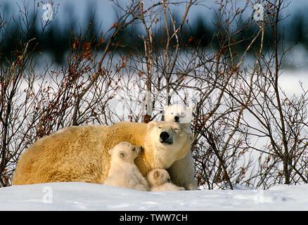 Eisbär (Ursus maritimus), Manitoba, Kanada - Stockfoto