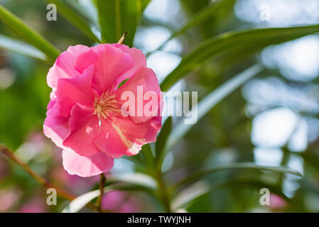 Close up oder Nerium oleander rosa Blume in voller Blüte - Stockfoto