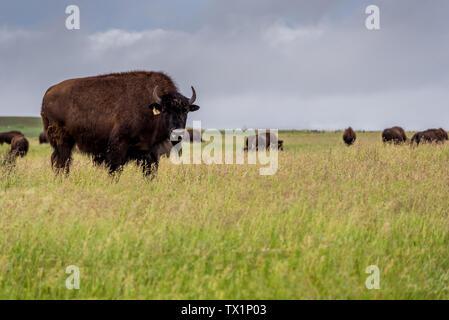 Plains Bisons Büffel grasen auf einer Weide in Saskatchewan, Kanada - Stockfoto