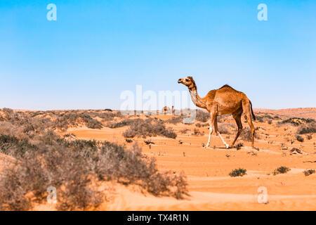 Dromedar in der Wahiba Sands Wüste, Oman - Stockfoto