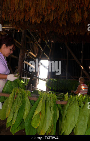 Trocknen Schuppen voller Tabak Blätter sortiert und in den ländlichen Dorf San Juan y Martinez, Provinz Pinar del Rio, Kuba getrocknet - Stockfoto