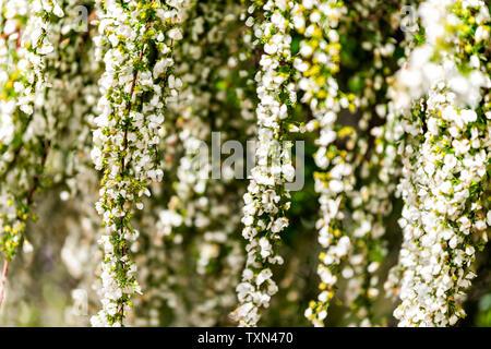 Kyoto, Japan hängenden Weinen weiß Cherry Blossom Kirschbaum im Frühling mit blühenden Garten bokeh verschwommenen Hintergrund mit grünen und gelben Farbe - Stockfoto