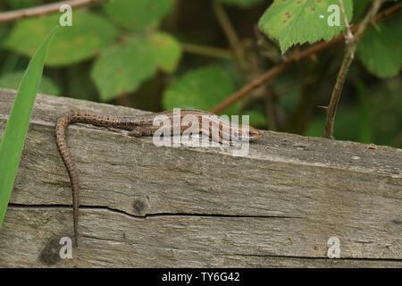 Eine atemberaubende Gemeinsame Eidechse, Zootoca vivipara, Aufwärmphase auf einem Holzzaun.