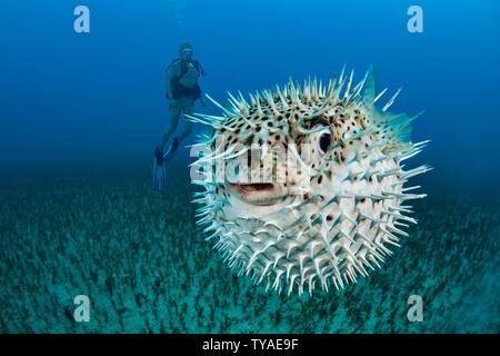 Diver (MR) und eine gefleckte porcupinefish, Diodon hystrix, Hawaii. - Stockfoto
