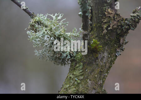Baum Moos, Hohenlohe, Baden-Württemberg, Heilbronn-franken, Deutschland, (Pseudevernia furfuracea) - Stockfoto
