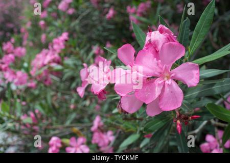 Oleander, Aradena Schlucht, Kreta, Ionisches Meer, Griechenland, Europa, (Nerium oleander) - Stockfoto