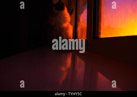 Eine Ragdoll Katze sitzt auf dem Fenster der Blick in den Raum, während abends Sonnenstrahlen Farben auf seinem Fell cast - Stockfoto