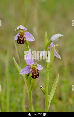 Bienen-ragwurz (Ophrys Apifera) wächst in einer stillgelegten Quary Site - Stockfoto