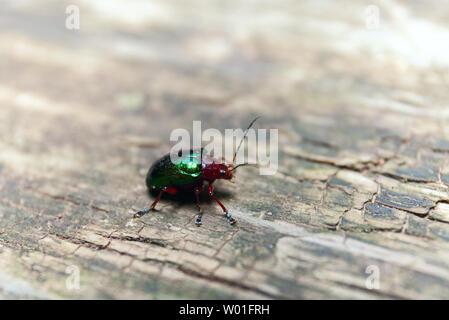 Metallic Grün Käfer auf einer Holzbank. Makroaufnahme. Selektive Schärfentiefe