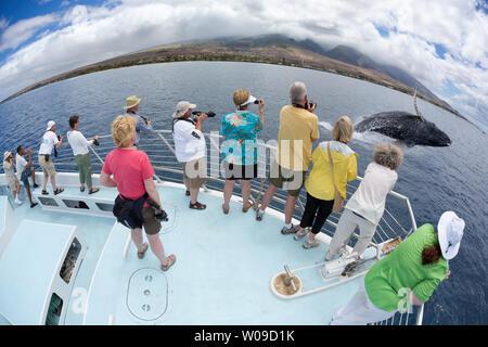 Photograhers auf eine Whale Watching Boot aus Lahaina, Maui, erhalten eine Nahaufnahme Blick an einem Verstoß gegen Buckelwale, Megaptera novaeangliae, Hawaii. - Stockfoto