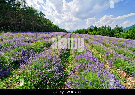 Wenig schöne Lavendelfeld an einem Berghang - Stockfoto